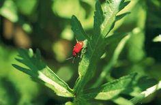 Torju punainen liljakukko | Viherpiha