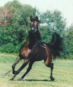 Dream Quest (Ali Jamaal x Calypso Tessa) 1992 bay stallion bred by Jo-Anne Campone, California Dream Quest, Arabian Beauty, Arabian Horses, Head Shapes, Horse Breeds, Horse Love, Thoroughbred, Show Horses, Beautiful Horses