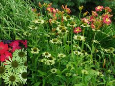 Those stunning new Coneflowers!  Green Jewel Echinacea color echos a variegated Miscanthus. Pair with  warm colors such as pink daylilies or KnockOut Roses, or orange Coneflowers in the garden.