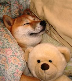 And the other canine breed on my wish list, the Shiba Inu.  It's like a miniature Akita.