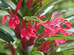 Cardinal Flower [Lobelia cardinalis] - Medicinal herb.  Herb can be made into oil or medicinal tincture, while leaves and roots used in medicinal teas by Native Americans.  Warning: all parts of the plant poisonous if consumed.