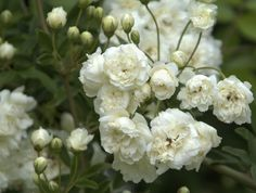 White Lady Banks Rose: thornless! A vigorous climber with rich green foliage on nearly thorn-free slender branches. Miniature, double, white blooms have a slight fragrance and are quite profuse. Bursts into bloom in spring to early summer; does not repeat bloom. Evergreen in milder climates. A fine climber for arbors. Zones:6-9