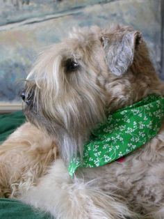 Irish Soft Coated Wheaten Terrier... I had a stuffed animal that was identical to this! Bandana and all!