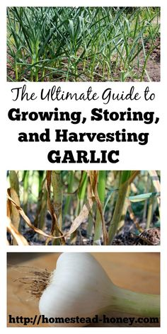 Growing Vegetables - Garlic is such an easy crop to grow! Learn all about growing, storing, and harvesting garlic. Plus, uses for garlic in the kitchen Growing Garlic From Cloves, Growing Herbs, Growing Vegetables, Grow Garlic, Growing Onions, Veg Garden, Fruit Garden, Edible Garden, Vegetable Gardening
