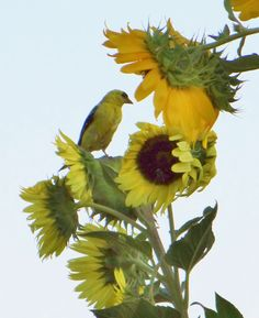 Yellow Finch Eating Sunflowers