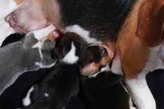 beagle dog feeding her puppies