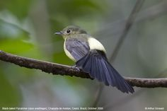 Black-tailed Flycatcher (Myiobius atricaudus ) by Arthur Grosset.