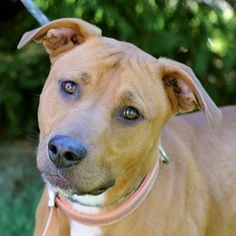Dallas (A041247) - TOP PRIORITY - REDUCED ADOPTION FEE is an adoptable Labrador Retriever Dog in Springfield, IL.  ...