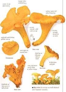 The Conditions Needed for Mushroom Growing Edible Wild Mushrooms, Garden Mushrooms, Growing Mushrooms, Stuffed Mushrooms, Edible Plants, Edible Flowers, Edible Garden, Champignon Chanterelle, Chanterelle Mushroom Recipes