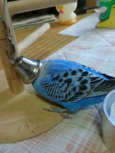 How to Take Care of a Budgie, Parakeet Funny Birds, Cute Birds, Funny Animals, Cute Animals, Budgie Parakeet, Cockatiel, Budgies, Parrots, Blue Budgie