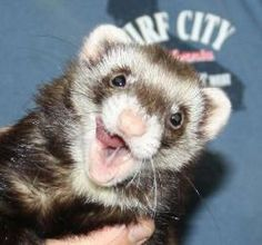 Cleo is an adoptable Ferret Ferret in Oregon City, OR. Cleo is a girl with a lovely sable coat and a great personality. Born on September 18, 2009, she is a full-grown adult ferret from RCF breeders. ...