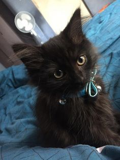 Reasons You Should Never Adopt A Black Cat Black cats are good luck and the best kitties ever!Black cats are good luck and the best kitties ever! Kittens And Puppies, Cute Cats And Kittens, Baby Cats, I Love Cats, Kittens Cutest, Black Kittens, Cute Black Cats, Ragdoll Kittens, Bengal Cats