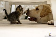 Funny and cute cats meeting puppies for the very first time. Cats and Dogs Funny Videos! Cats meet puppies, try not to laugh! Puppies & Babies & Kitties OH M. Cute Kittens, Cats And Kittens, Funny Kitties, Funny Dogs, Animals And Pets, Baby Animals, Funny Animals, Cute Animals, Wild Animals