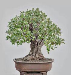 Holm oak (Quercus ilex) bonsaï