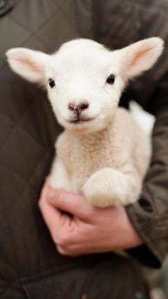I had a little lamb....♥