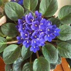 Purple African violets I grow!!!!