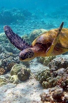 Under the Sea turtle Turtle Love, Green Turtle, Turtle Tub, Turtle Beach, Beautiful Ocean, Animals Beautiful, Beautiful Creatures, Beautiful Places, Les Bahamas