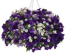 Hanging Basket 'Blue Lightning' featuring: Petunia 'Supertunia Royal Velvet' and Calibrachoa 'Superbells Evening Star' & 'Superbells Frostfire'