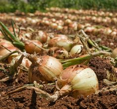 Growing Vegetables Alternative Gardning: Onions Planting, Growing and Harvesting - Veg Garden, Edible Garden, Garden Plants, Vegetable Gardening, Growing Onions, Growing Veggies, Farm Gardens, Outdoor Gardens, Organic Gardening