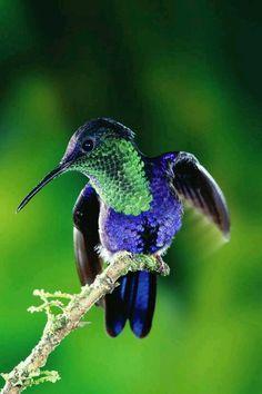 Violet crowned woodnymph hummingbird