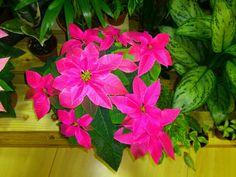 Flor de Nadal rosa