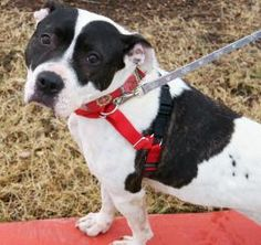 Jade is an adoptable Pit Bull Terrier Dog in Austin, TX. Jade is one sweet soul and those sweet eyes will melt your heart. She is around 4 years old. She is so well-behaved she was actually used at th...