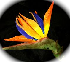 Seriously!  It is totally eatable- exotic bird of paradise gum paste flower.