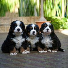 Three little dogs sitting for a great pic!!!