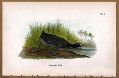 American Coot 1890 Bird Warren Chromolithograph