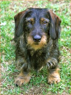 Own picture:  Dachshund