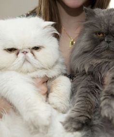 QUIZ: Which cat are you? I'm a Scottish fold