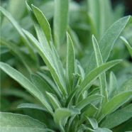 Salvia lavandulifolia Aromatic leaves. Culinary, good with tomato sauces. Very neat habit.