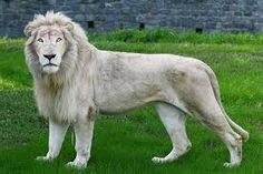 Resultado de imagen para leones