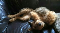 Airedale Sleep Position # 107