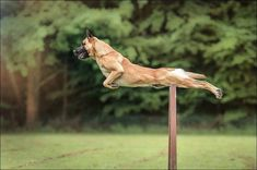 Kylie and Anne Swan are the place winners of the Small Dog Agility competition at the 2016 Incredible Dog Challenge Western Regionals hosted by Purina . Military Working Dogs, Military Dogs, Police Dogs, Berger Malinois, Belgian Malinois Dog, Belgian Shepherd, German Shepherd Dogs, Belgium Malinois, Wow Photo