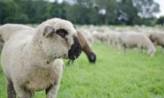 South-Atlantic Transitional Sheep Forage Blend