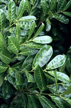 laurocerasus is a vigorous, large, spreading evergreen shrub with handsome, glossy dark green leaves to in length. Small white flowers in erec Small White Flowers, Cream Flowers, North Facing Garden, Evergreen Shrubs, Evergreen Garden, Shade Perennials, Prunus, Back Gardens