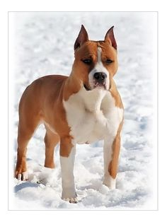 Castle Rocks Gold Rush For Sbigstaff 01 Horses And Dogs, Animals And Pets, Dogs And Puppies, Cute Animals, Doggies, Amstaff Terrier, Pitbull Terrier, American Staffordshire, Staffordshire Terriers