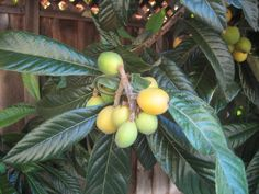 Ornamental as well as practical, loquat trees make excellent lawn specimen trees. Large clusters of attractive fruit stand out against the dark green, tropicallooking foliage. Learn more about growing them here.