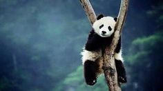 Image de panda, animal, and tree
