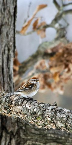 American Tree Sparrow by Christina Rollo. An American Tree Sparrow was a welcome visitor to our feeder on this day! I don't get to see these birds very often. As soon as all of the snow melts, they will begin their long migrations to breeding grounds in the tundra of the far North. American Tree Sparrow perched on the branch of a weathered oak tree in early spring.   SHOP MY COMPLETE COLLECTION AT:  www.rollosphotos.com