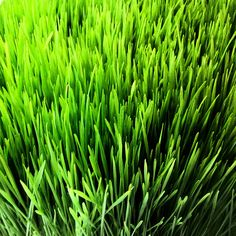 Wheatgrass is so amazing! It can help cleanse  blood, organs and gastrointestinal track as well as stimulating your metabolism. It also helps reduce blood pressure by dilating the blood pathways throughout the body. Very cool. by GreenStarCo-op, via Flickr