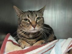 Pie TO BE DESTROYED 12/12/16 ***  Sweet scared cat dumped by owner before christmas on death list today! If you would like to foster or adopt and can't make it to the shelter, please write an email NOW to the Urgent Help Desk at   Helpcats@Urgentpodr.org  Their experienced volunteers will assist you one-on-one with rescues and the application process. Transport can be arranged by rescues to the homes of approved fosters or adopters within 3-4 hours of New York City