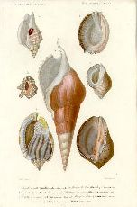 Antique print: picture of sea shells