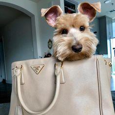 The ears!!!  #3 #new #pinterest #dog #doglovers #love #like4like Mini Schnauzer Puppies, Miniature Schnauzer, Baby Puppies, Cute Puppies, Cute Dogs, Dogs And Puppies, Schnauzers, Love Pet, I Love Dogs