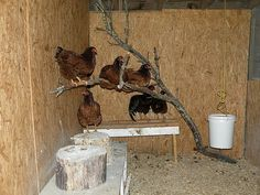 Chickens Roosting | The chickens enjoying their roost. | Living Off Grid | Flickr