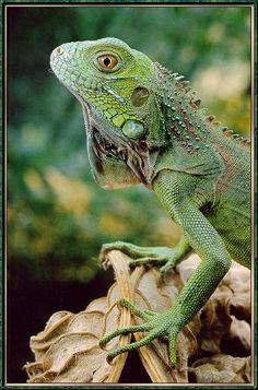 common iguana   Common Green Iguana (Iguana iguana) {!--이구아나-->; Image ONLY