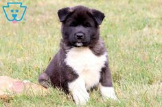 This charming Akita puppy has a wonderful personality. This puppy is AKC registered, vet checked, vaccinated, Puppy Chew Toys, Toy Puppies, Akita Puppies For Sale, Black Labrador, Black Labs, Puppy Supplies, Dog Grooming Business, Animal Photography, Animales