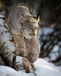 Photo by A wild Canadian lynx on the prowl! List Of Animals, Rare Animals, Cute Baby Animals, Animals And Pets, Wild Animals, Canadian Animals, Canadian Wildlife, Lynx Du Canada, Cute Kittens