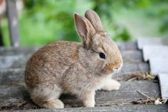 Image result for brown bunny